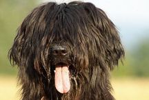 Dogs / Briard - Hovawart - Standard schnauzer - Riesenschnauzer - Dutch shepherd - Bohemian shepherd - Smooth collie - Kelpie - Beauceron - Picardy shepherd - Bouvier des Flandres - Airedale terrier