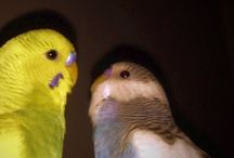 Lovely Parakeets