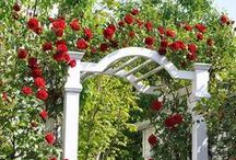 Climbing Roses / Climbing roses create a striking walls of color and add visual interest to any garden.  They come in all sizes and colors and bring an enchanting element to the traditional rose garden.
