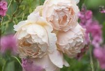 David Austin English Roses / David Austin® Roses are bred by crossing old garden roses with more modern roses to achieve the superb fragrance, delicacy and charm of the old-style blooms combined with the repeat flowering characteristics and wide color range of modern roses.