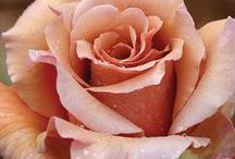 Hybrid Tea Roses / The favorite rose for much of the history of modern roses. They were created by hybridising Hybrid Perpetuals with Tea roses in the late 19th century. The hybrid tea remains the standard rose of the floral industry, and is still favoured in small gardens in formal situations.