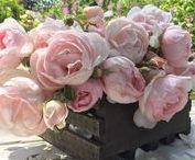 English Roses / English Roses provide intensely perfumed flowers that are a great addition to bouquets. They produce lush, romantic flowers, many of which are densely filled with petals. They are an improvement from their ancestors, with better growth habits, better health and the ability to repeat bloom.