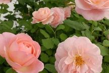 Shrub Roses / Shrub roses encompass a wide range of rose types which makes them a very diverse group. It seems that any rose that does not fit another category becomes a shrub rose and in turn their winter hardiness varies.