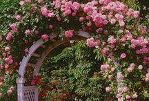 Hybrid Musk Roses