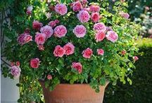 Container Roses / Beautiful roses planted in containers.