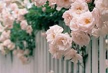 Beautiful Fences with Roses / Admiring the beauty of a rose draped fence.