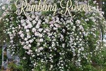 Rose Structures / Pergolas, Trellises, Oblisks. Roses are abundant!