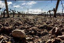 """Nuestro Viñedo / Barcolobo cuenta con 20 hectáreas de viñedo ubicadas en un entorno privilegiado, la Reserva Natural """"Riberas de Castronuño - Vega del Duero"""""""