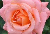 All About Roses / We love roses and this board is dedicated to all things rose!