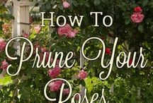 Rose Care Articles / Everything you need to know to keep your roses healthy and beautiful!