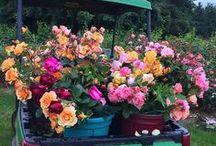 Beautiful Heirloom Roses