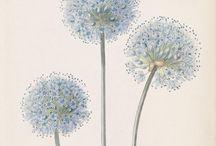 Botanische/Vintage illustraties