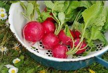 Radieschen - radishes