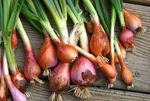 Zwiebeln, Lauch, Knoblauch - onions, leek, garlics