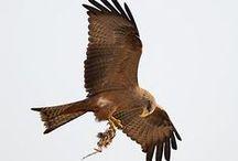 Yellow-billed kite (tweetie)