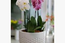 Ορχιδέες /  Orchids make living spaces look luxurious and fresh.