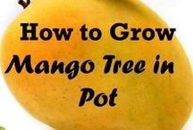 How to grow a mango tree in a pot