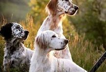 ye olde English Setter / Beautiful picture of the most gorgeous hunting breed - the English Setter. They're more than dogs and better than pets. They are royalty. Just look...
