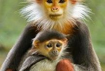 Nature - animal / primates, monkeys, raccoon, panda, koala, kangaroo, beaver, otter, capybara, squirrels,  hedgehog, meerkats, guinea pig, rabbit, hamster,