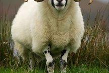 Nature 14 -  sheep, goats, cows