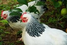 Nature - Bird - fowl, pheasants, partridges, chickens, Guinea fow, turkey, rooster