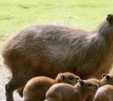Nature 15 - beaver, otter, capybara, guinea pig, rabbit, hamster, mouse