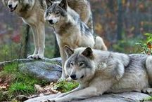 Nature 11 - Wolves, foxs, dogs