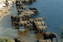 Nature  - big animals /  polar bear, big bears, buffalo, elephant, giraffe, rhiho, hippo