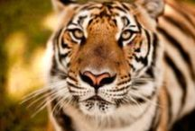 Big Cats / tigers, lions, cheetahs, leoprads, panthers, ocelots, jaguars, pumas, bobcats, cougars