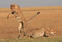 Cheetah Conservation