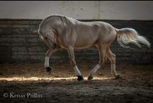the beautiful equines