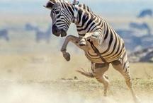 Zebra on the hoof