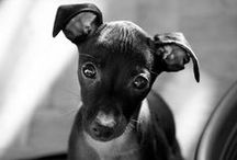 My Love For Italian Greyhounds