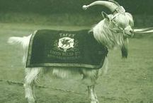Regimental Goats
