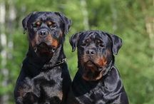 Rottweiler / Rottie. Great race with very respectable long history!