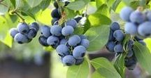 Garten - Obst / Gemüse
