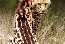 King Cheetah   Animal