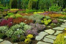 sbírkové vřesoviště v Zahradnictví Franc ... our collection of heaths / calluna, erica, andromeda, vaccinum...