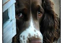 SpAnNiES / Beautiful Cocker spaniel doggies