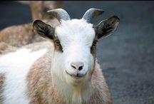 ヤギ ♥ Goat