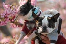 Boston Terrier / my girls bostonterrior  Hana & Chacha