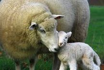 ewes and rams.... / by Val McLaren