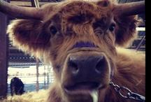Livestock at Colorado State Fair