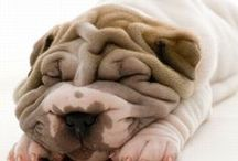 Shar Pei Signs and Stuff / Shar Pei dog signs and other cool things. http://www.signswithanattitude.com/dog_signs/Shae_Pei.html