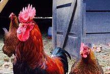 AcreageLife Chickens / Everything Chicken