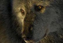 | Loups et Meutes |