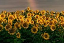 Sunflowers / Welcome to my boards. Pin whatever inspires you.....no pin limits!!!!!