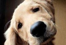 Golden r. puppy