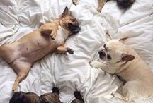 FRENCH BULLDOGS / Lots of cute frenchie pics