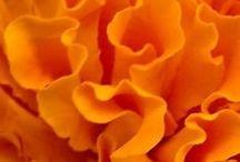 Orange  Ridge